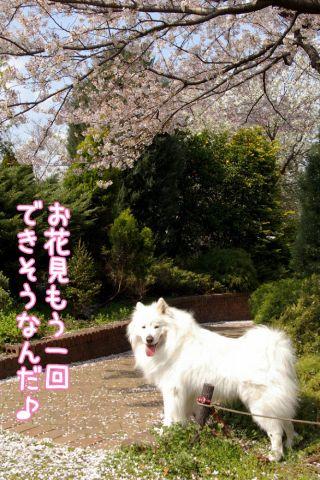 桜吹雪_c0062832_19142341.jpg