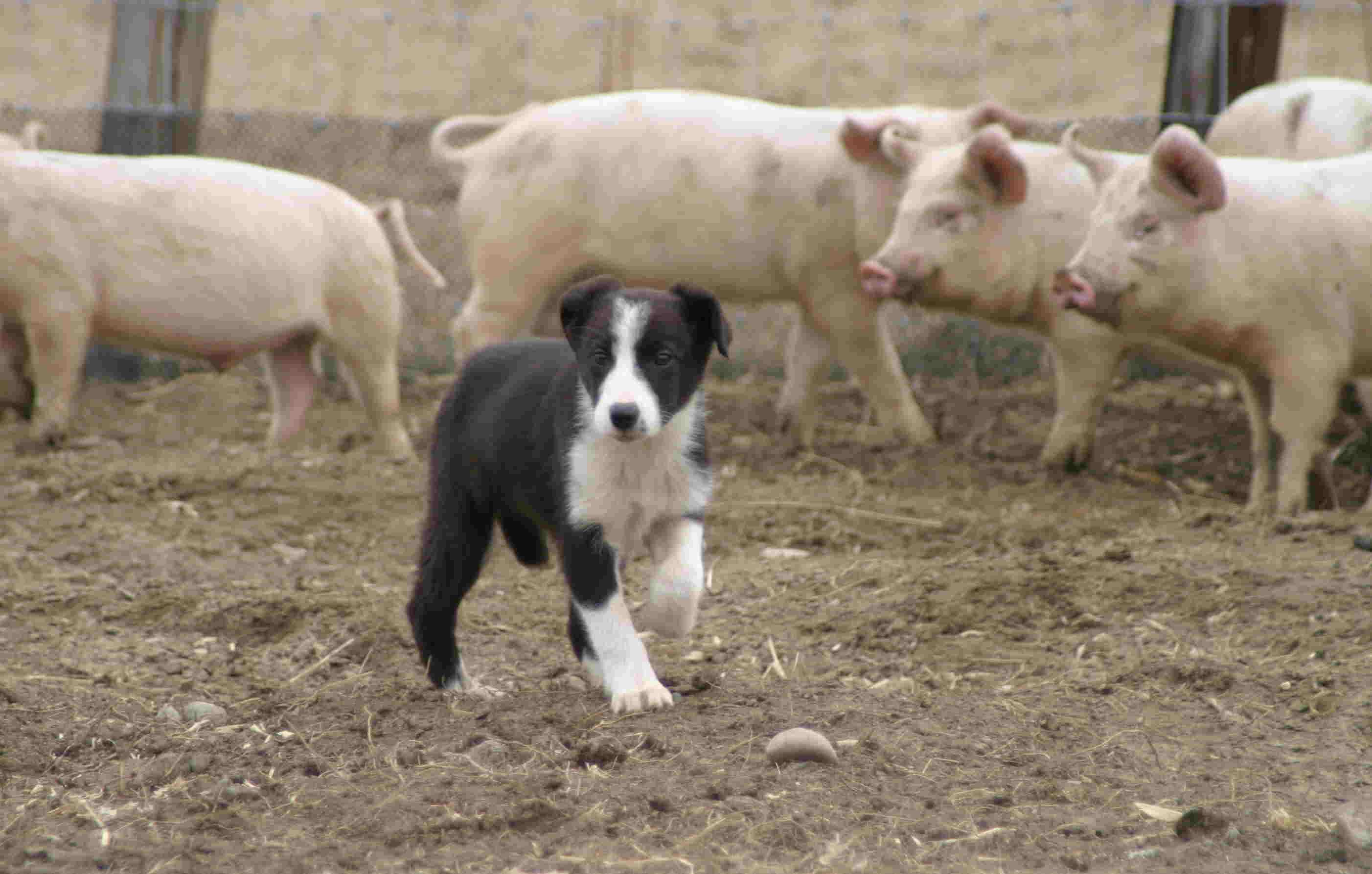 4月3日 牧豚犬「ポルコ」誕生か?_a0103738_1121529.jpg