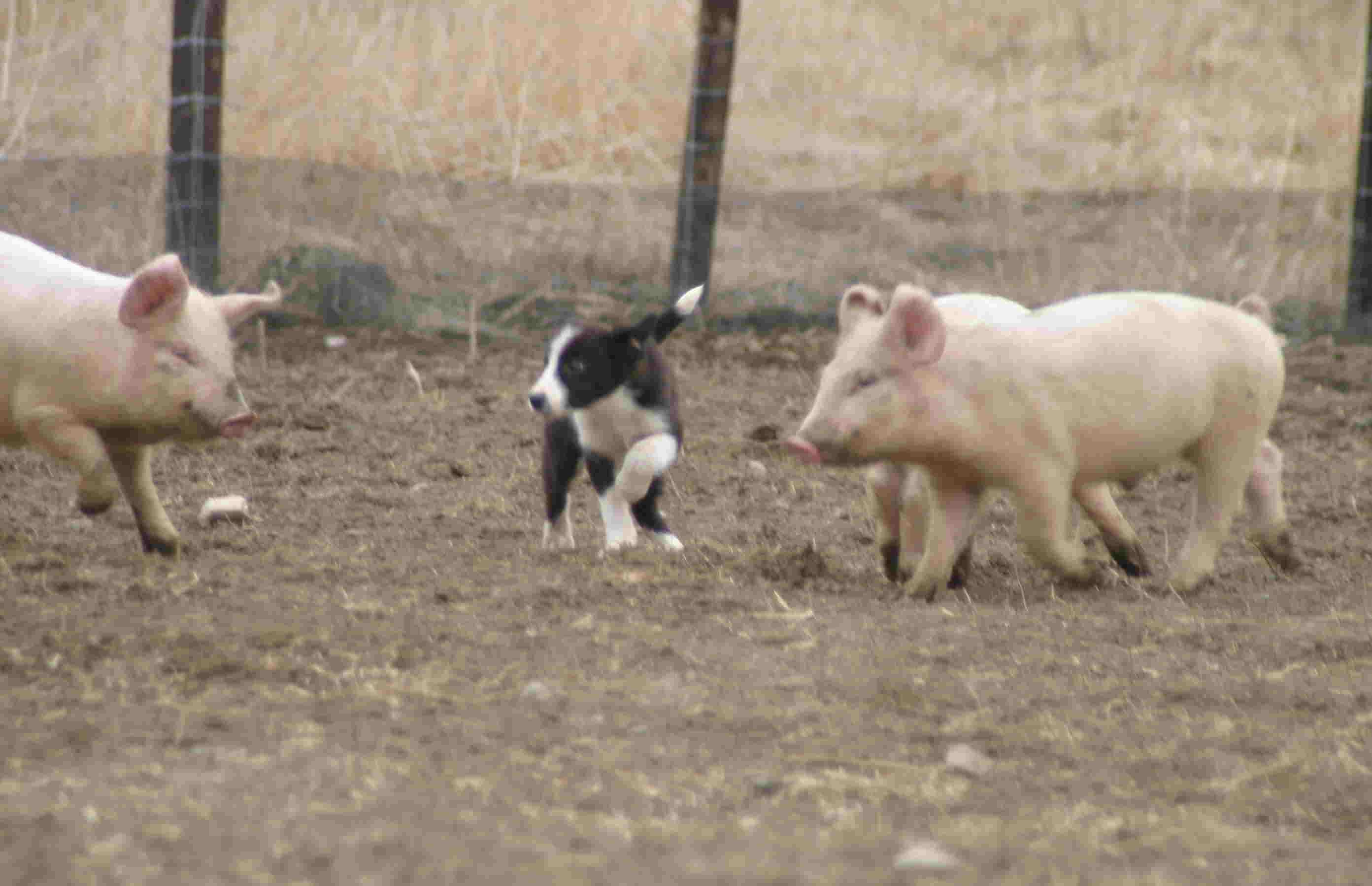 4月3日 牧豚犬「ポルコ」誕生か?_a0103738_1125361.jpg