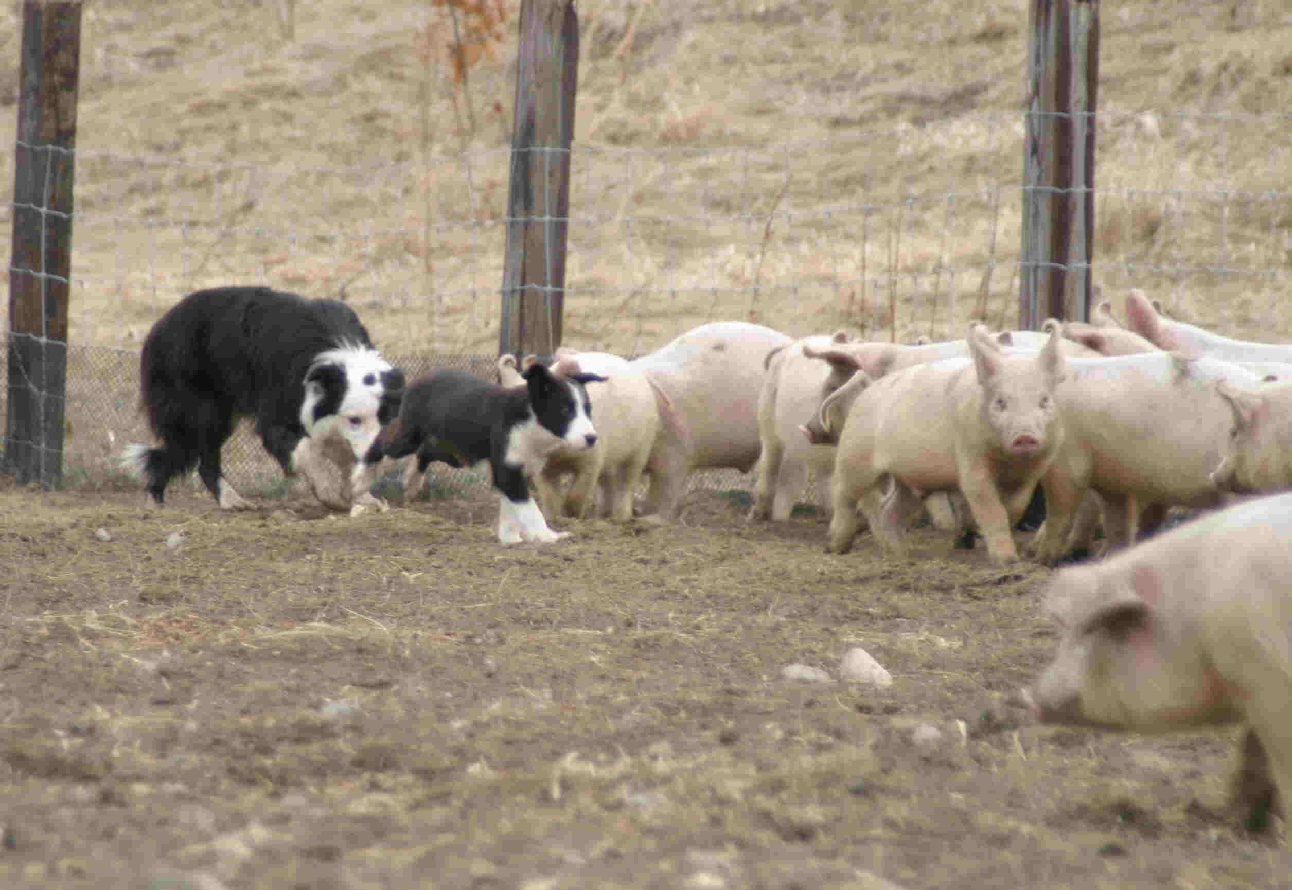 4月3日 牧豚犬「ポルコ」誕生か?_a0103738_1128069.jpg