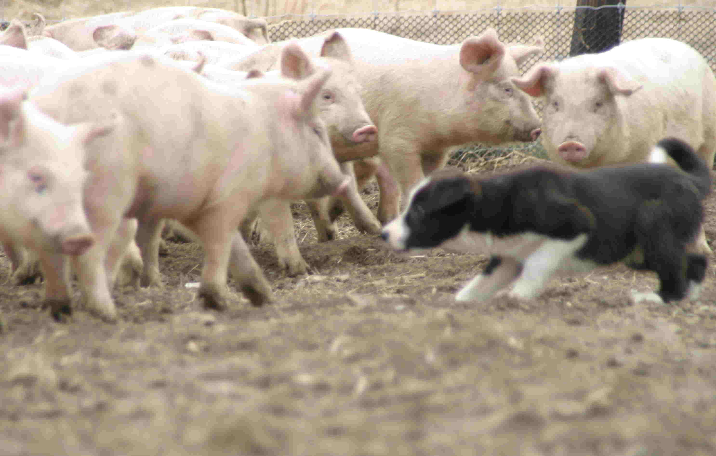 4月3日 牧豚犬「ポルコ」誕生か?_a0103738_11313112.jpg