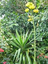 リュウゼツランの花が咲きました_d0100638_14504552.jpg
