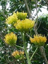 リュウゼツランの花が咲きました_d0100638_14525632.jpg