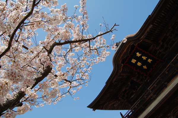鎌倉の桜・その1_a0003650_12273.jpg