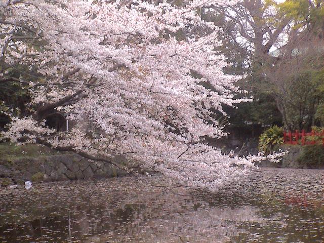 大社の桜。_e0060555_2018746.jpg