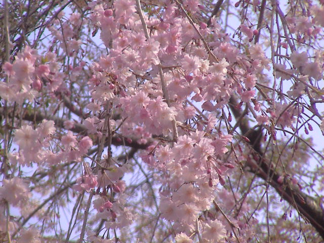 大社の桜。_e0060555_2020136.jpg