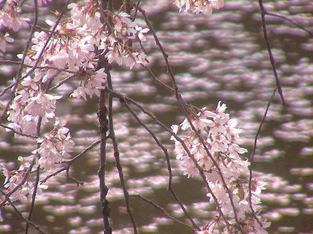 大社の桜。_e0060555_20222742.jpg