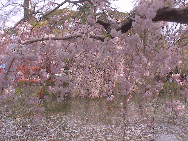 大社の桜。_e0060555_20284145.jpg