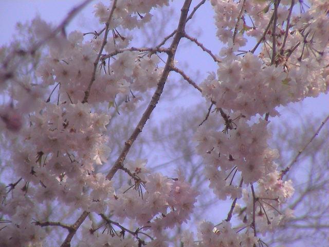 大社の桜。_e0060555_2029086.jpg