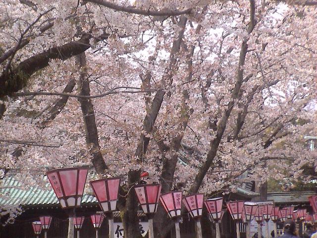 大社の桜。_e0060555_21432758.jpg