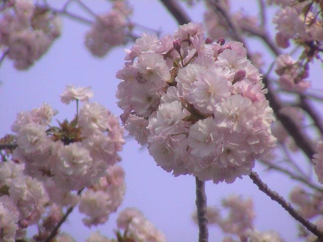 大社の桜。_e0060555_21434889.jpg