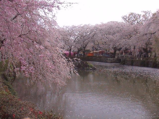 大社の桜。_e0060555_2147593.jpg
