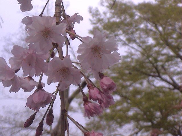 大社の桜。_e0060555_21481898.jpg