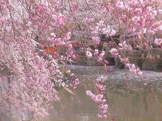 大社の桜。_e0060555_21494559.jpg