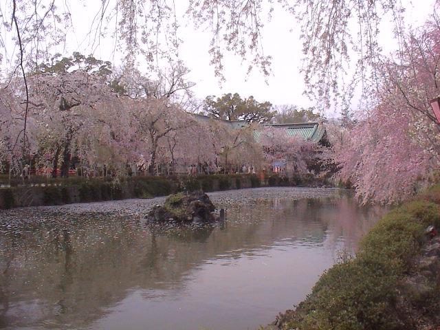 大社の桜。_e0060555_21511986.jpg