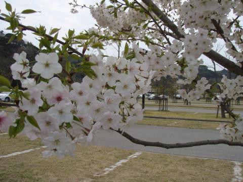 マリーナの桜_a0077071_15555213.jpg
