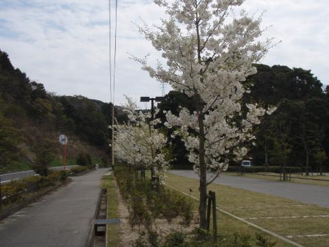 マリーナの桜_a0077071_15592656.jpg