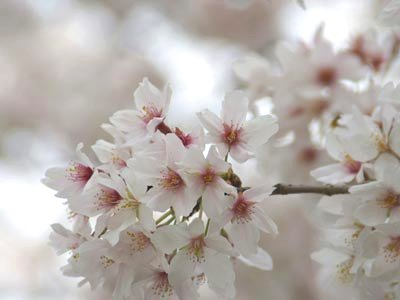 桜の季節_f0062790_13238.jpg