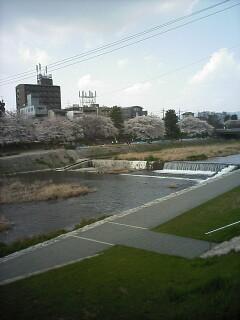 「京都-桜情報」その3  当薬局周辺(出町界隈)_a0076495_7172522.jpg