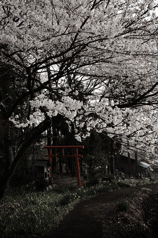 霞間ヶ渓の桜2008(岐阜県揖斐郡池田町)_c0115616_57353.jpg