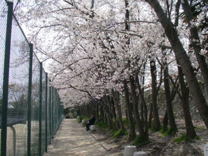 今年の桜風景_b0105719_1792488.jpg