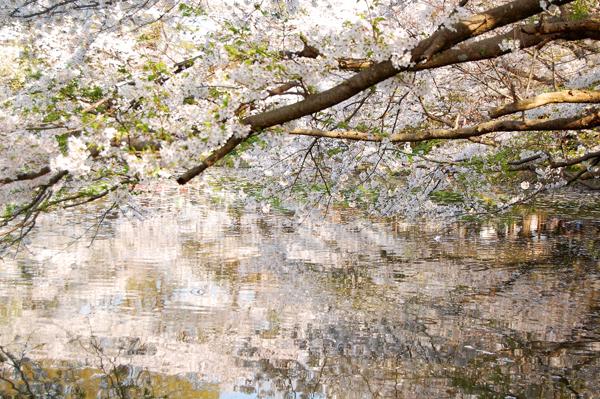 鎌倉の桜・その2_a0003650_2242331.jpg