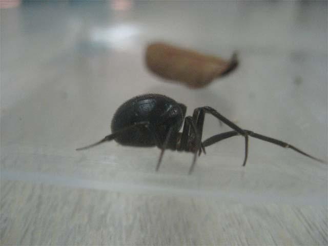 セアカゴケグモと同じような形なのですが、背中が赤くなく真っ黒_b0025008_14463047.jpg