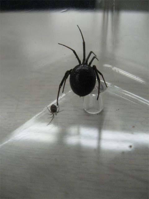 セアカゴケグモと同じような形なのですが、背中が赤くなく真っ黒_b0025008_14463788.jpg