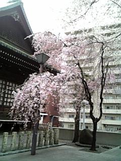 新宿中央公園の桜_c0103712_1294171.jpg