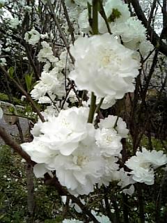 新宿中央公園の桜_c0103712_1295088.jpg