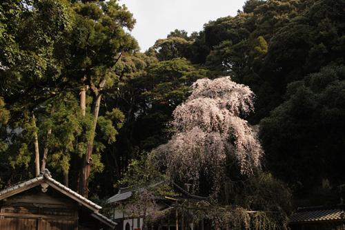 しだれ桜_a0096313_1126518.jpg