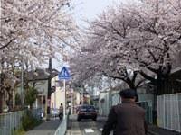 桜 夜桜 満開です_c0133422_052441.jpg