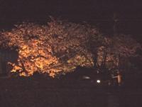 桜 夜桜 満開です_c0133422_0531332.jpg