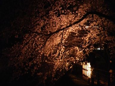 福井城址の夜桜ライトアップ_d0079440_2194070.jpg