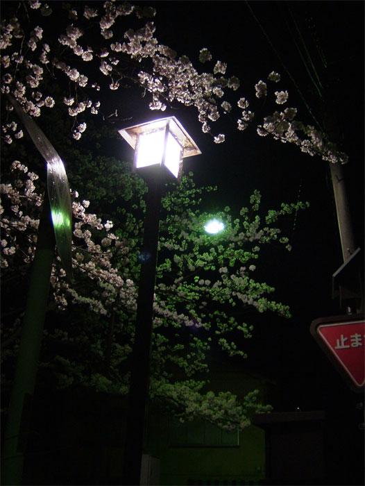 本番前の夜桜_c0110051_0362345.jpg
