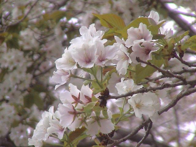 富士山と桜と。_e0060555_0255557.jpg