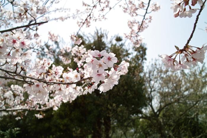 祖原公園の桜は満開です!!_b0125014_12574638.jpg