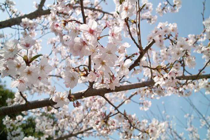 祖原公園の桜は満開です!!_b0125014_12581198.jpg