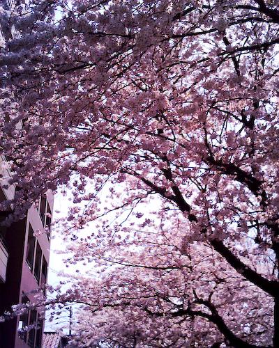 祖原公園の桜は満開です!!_b0125014_12594443.jpg
