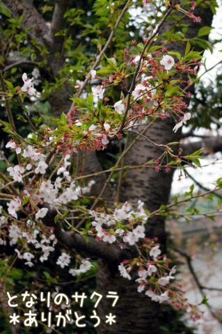 桜の宴2008_c0062832_1750252.jpg