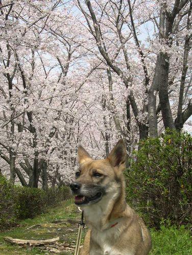二人三匹お花見散歩_b0025947_19512467.jpg