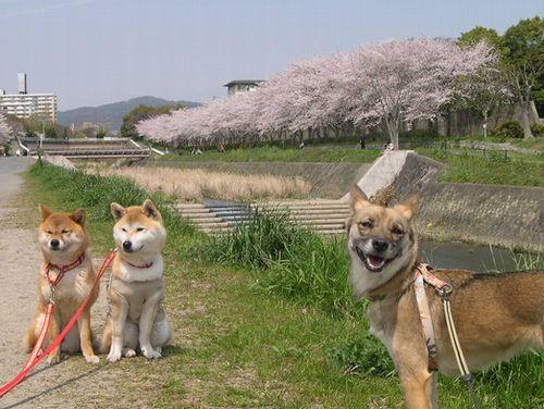 二人三匹お花見散歩_b0025947_19515353.jpg