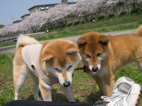 二人三匹お花見散歩_b0025947_19594231.jpg