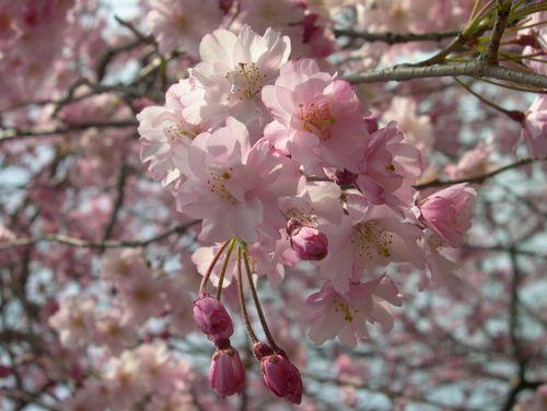 二人三匹お花見散歩_b0025947_2085899.jpg