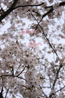 お花見 2008_c0156468_18113838.jpg