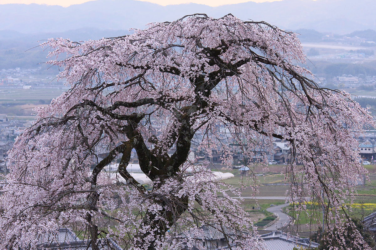 京都 地蔵禅院 枝垂れ桜 _f0021869_0101537.jpg