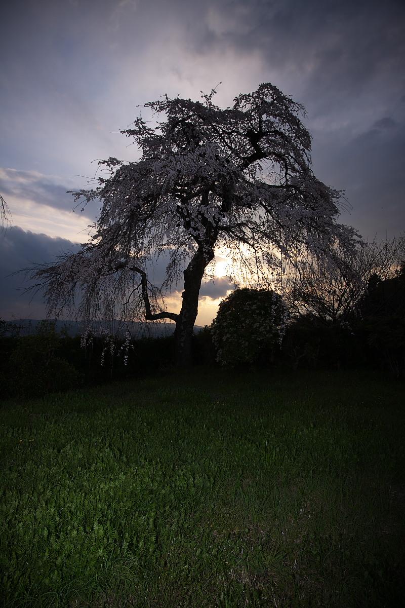 京都 地蔵禅院 枝垂れ桜 _f0021869_0135672.jpg