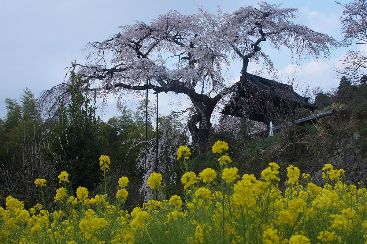 京都 地蔵禅院 枝垂れ桜 _f0021869_029732.jpg
