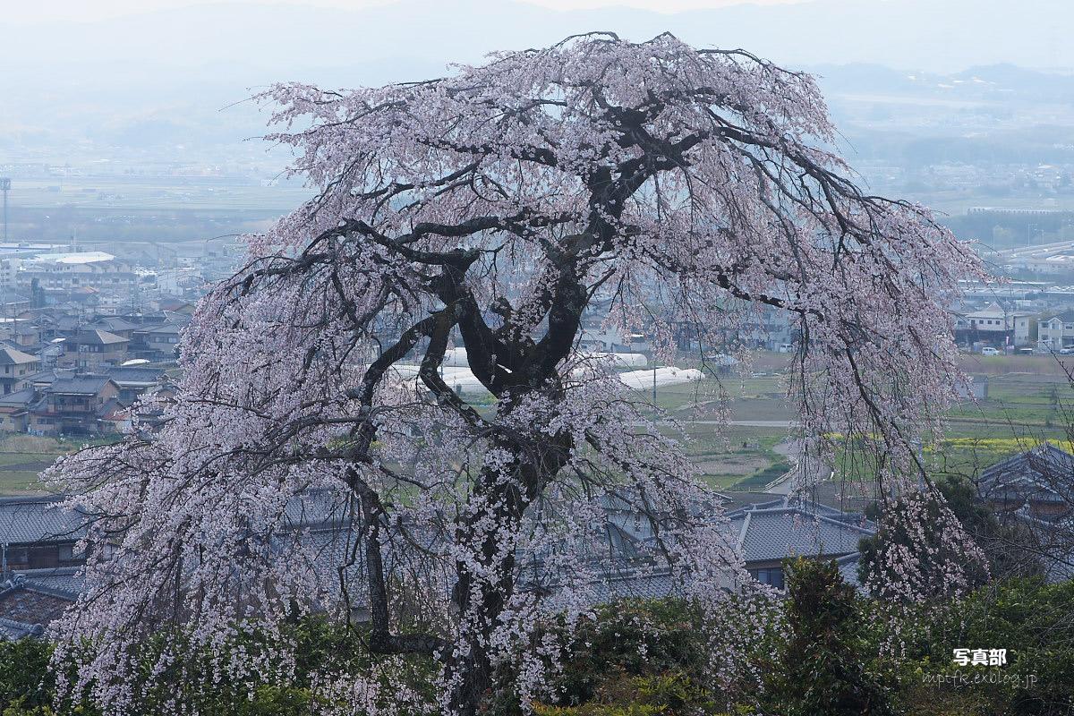 京都 地蔵禅院 枝垂れ桜 _f0021869_053521.jpg