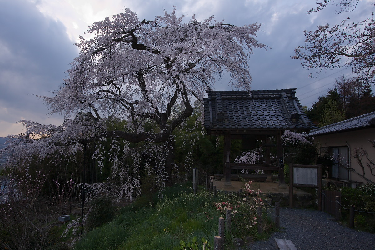 京都 地蔵禅院 枝垂れ桜 _f0021869_072464.jpg